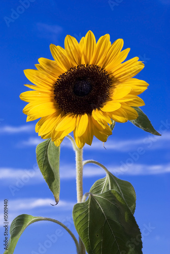 Girasole Con Sfondo Blu Cielo Stock Photo And Royalty Free Images