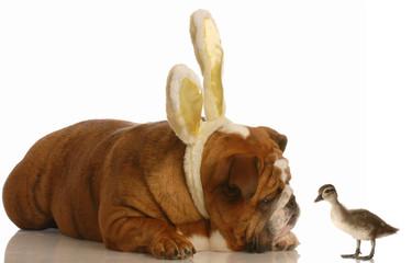 english bulldog wearing bunny ears looking at baby duck