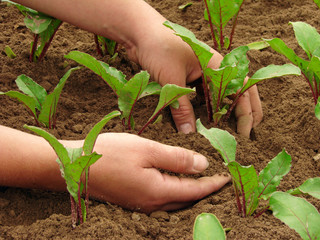 hands hoeing vegetable bed with sprouts