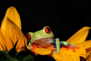 red eyed tree frog and sunflower