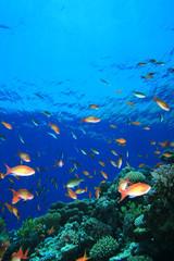 Anthias on Coral Reef