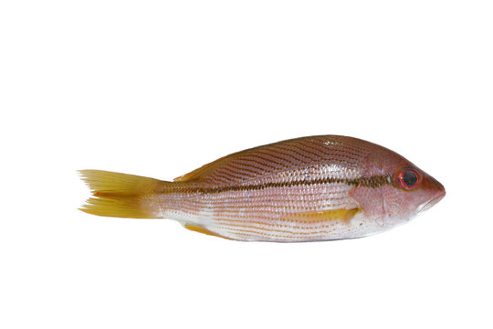 yellow tail snapper
