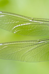Libelle - Flügel einer blaugrünen Mosaikjungfer