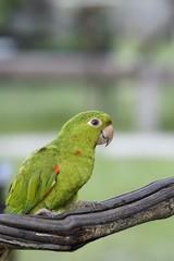 perroquet (Amazone)