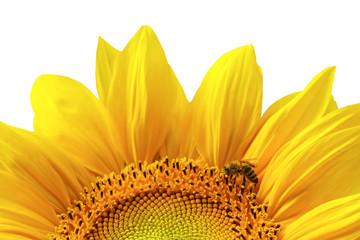 Beautiful sunflower (isolated)