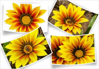fleurs de gazania