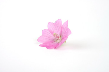 Pink flower with waterdrops on a white background