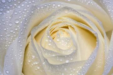 Rose after rain,beautiful drops