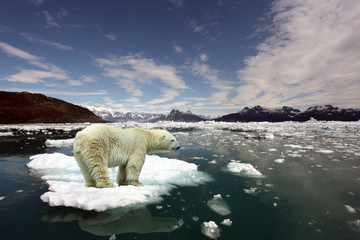Poster Ours Blanc Polar Bear and global warming