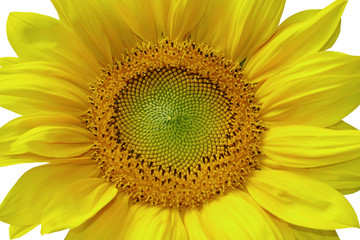 Sunflower isolated with white background