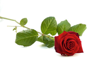 Rose liegend