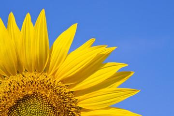 sunflower against a sky background