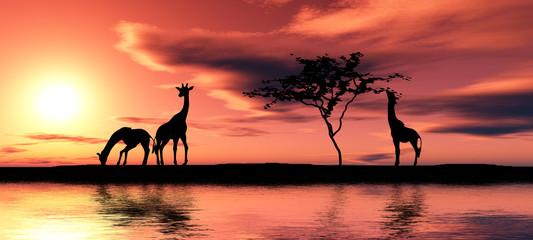Family of giraffes.