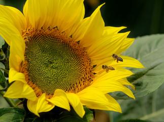 Honeybee and sunflower