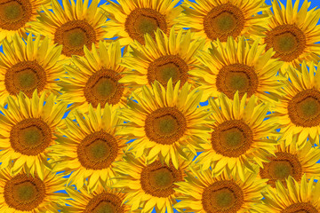Sunflower background on the blue background