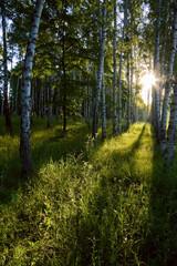 Spoed Foto op Canvas Berkbosje Birch forest in the morning