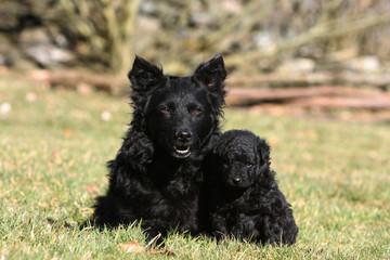 chien adulte et chiot mudi couchés côte à côte dans l'herbe