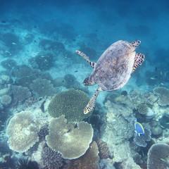 Schildkröte - Malediven - Turtle - Maldives