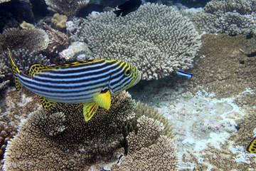 Süsslippe - Malediven - Sweet lip - Maldives