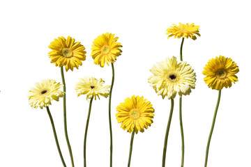 yellow gerber daisies isolated on white