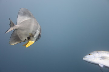 Fledermausfisch und Thunfisch - Malediven - Maldives