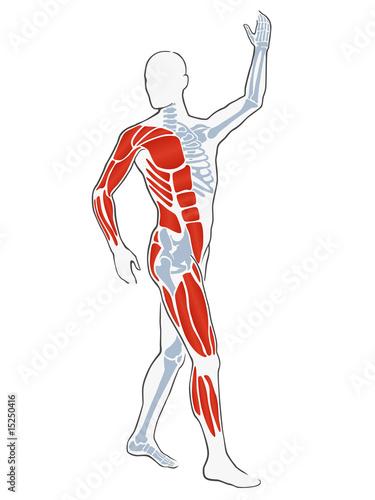 illustration - männlicher körper mit muskeln und skelett\