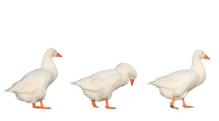 three geese walking isolated on white