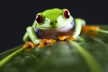 Frog - small animal red eyed