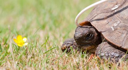 Convalescent Tortoise