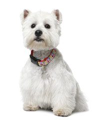West Highland White Terrier (2 yeard old) sitting.