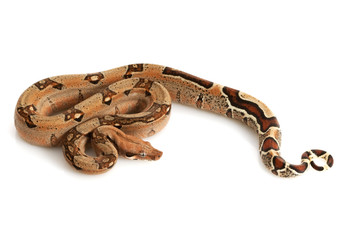 Pastel Jungle Columbian Red-tailed Boa