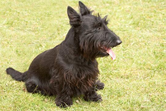 Scottish terrier feeling the heat