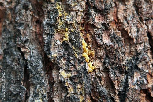 baumharz pine resin stockfotos und lizenzfreie bilder auf bild 15296245. Black Bedroom Furniture Sets. Home Design Ideas