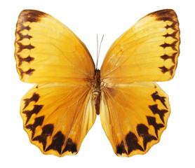 Butterfly on a white background, (Stichophthalma howqua),