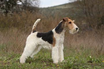 standard d'un fox terrier à poil dur dans la nature - profil