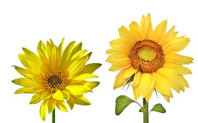 Sunflowers (isolated)