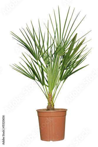Palmier dans pot photo libre de droits sur la banque d for Palmier dans pot