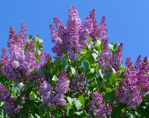 full blown common lilac