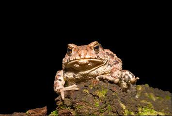 Toad (Bufo gargarizans) 16