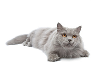 lying cute british cat isolated