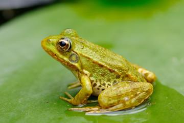 Fototapeten Frosch grenouille verte