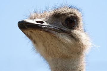 Strauß, ostrich