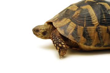 turtle isolated