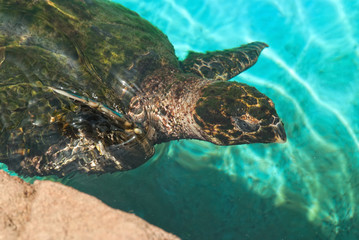 The green turtle (chelonia mydas)