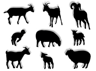 Pecore e montoni in silhouette