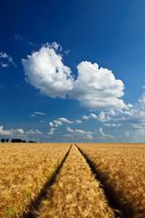 Getreidefeld vor Ernte im Sommer 2