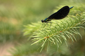 dragonfly on a pine tree