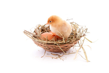 Chicken and egg in nest