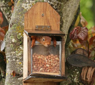 Red Squirrel inside feeder