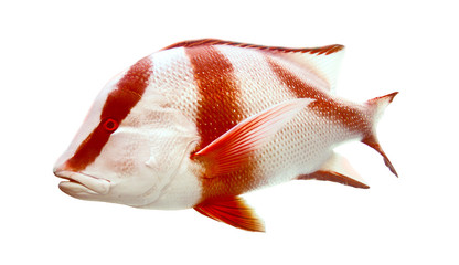 Red emperor (government bream) Lutjanus sebae